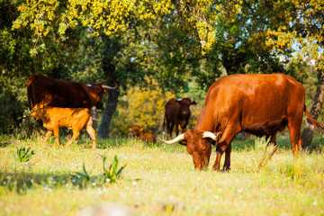 Fototapete - Group of brown cows eating at countryside