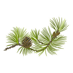 Pine branch whit pinecones vector illustration
