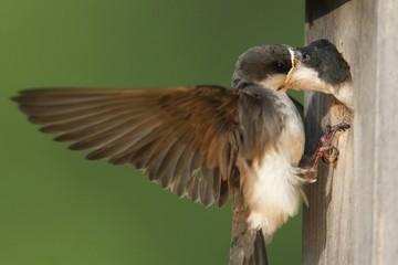 Fotoväggar - Tree Swallow Feeding Babies