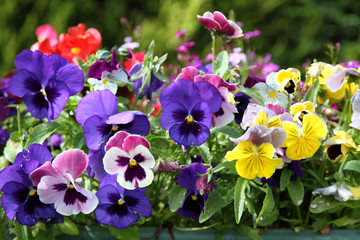 Poster Pansies Colored Pansies