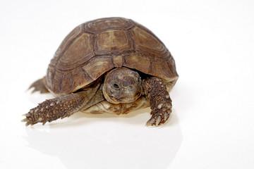 turtle dwells