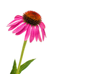 echinacea flower isolated Wall mural