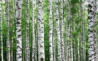 Trunks of birch trees in summer Wall mural