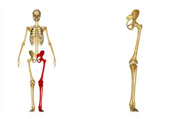 Skeleton left leg