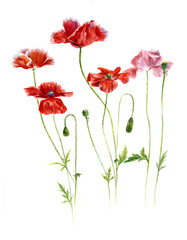 field red poppies on a white background