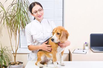 Beagle dog at a reception at the vet