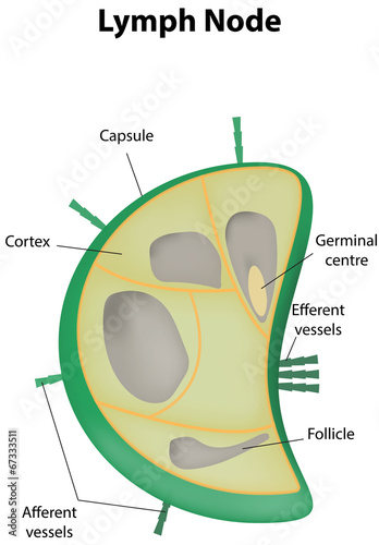Lymph Node Labeled Diagram Stock Image And Royalty Free Vector