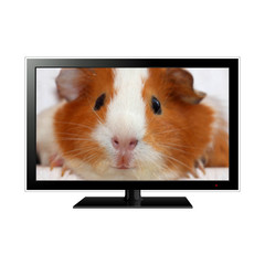 Modern LCD monitor with guinea pig in the screen