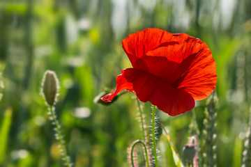 big fresh poppy in the field
