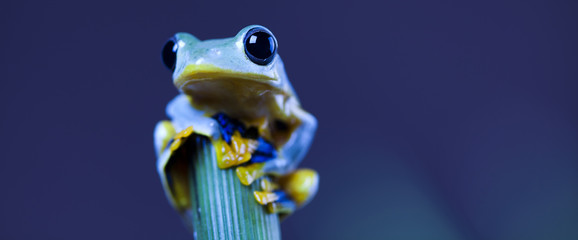 Foto auf AluDibond Frosch Exotic frog in indonesia