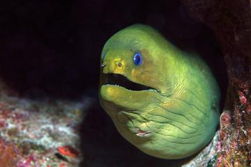 Wall Mural - Green moray eel