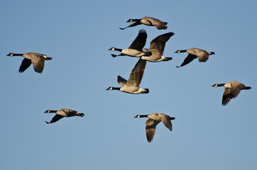 Large Flock of Geese Flying in Blue Sky