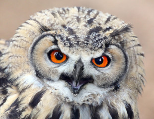 Fototapete - The evil eyes. Angry The Eagle Owl, Bubo bubo.