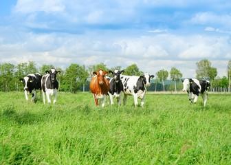 Fototapete - Rinder auf der Weide