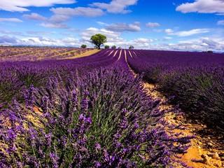 Printed roller blinds Lavender lavander in Provence France