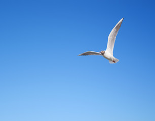 Wall Mural - Seagull flying in the blue sky