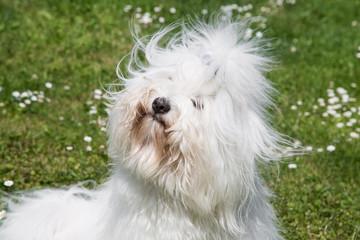 Haarig: Coton de Tulèar Hund - ähnlich Malteser