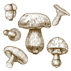 engraving illustration of mushrooms