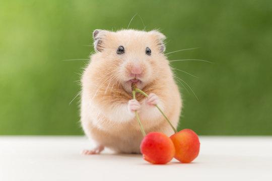 さくらんぼを食べるハムスター