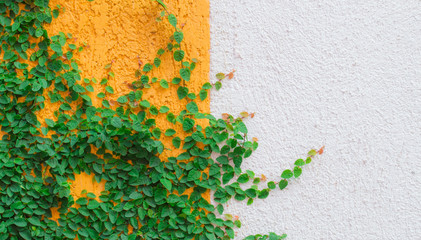 background ivy