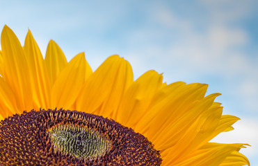 Close-up of a colorful sunflower