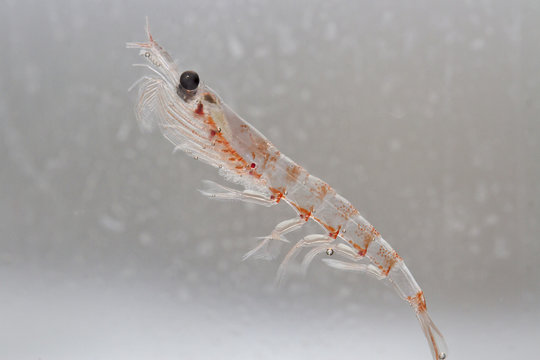 Antarctic krill in the water column of the Southern Ocean