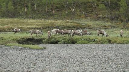Fotomurales - Reindeer grazing in Lapland