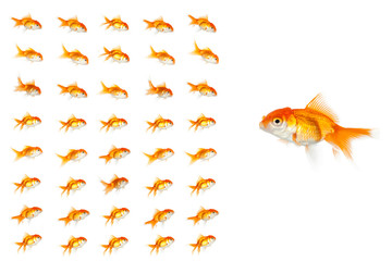 Big goldfish standing to a group of small group