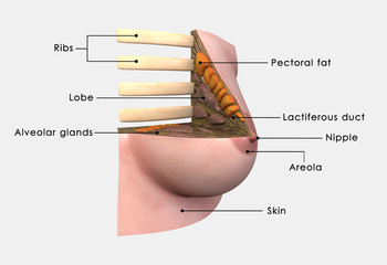 Breast anatomy labelled