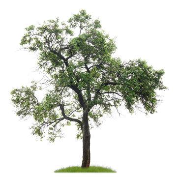 Freigestellter Pflaumenbaum mit Früchten vor weißem Hintergrund