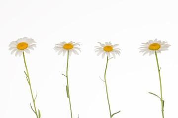 four fragile delicate daisies