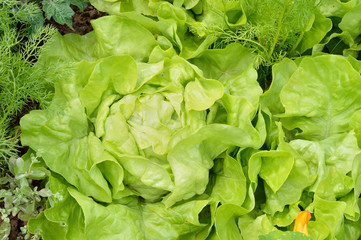 Close-up of lettuce in an organic garden.