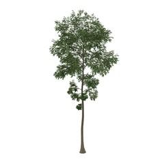 deciduous tree isolated on white background