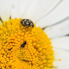 Varied Carpet Beetle And Friend