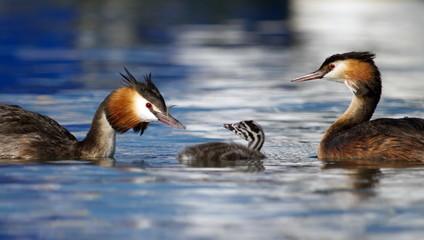 Crested grebe, podiceps cristatus, ducks family