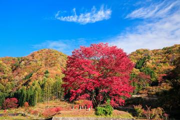 紅葉の豆桜
