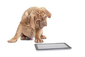 Puppy with digital tablet computer