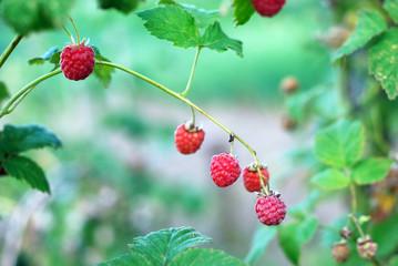 Ripe raspberry on a branch
