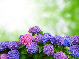 hydrangea on green background