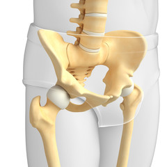 Pelvic girdle artwork