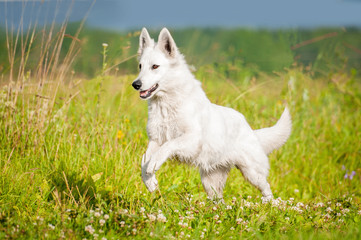 White swiss shepherd running on the field