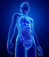 xray digestive system of male body