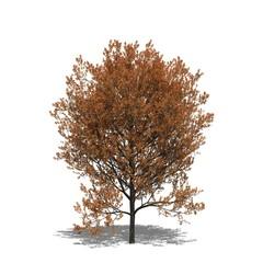 Rot-Eiche (Quercus rubra) autumn
