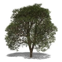 Afrikanischer Mahagonibaum (Khaya senegalensis) autumn