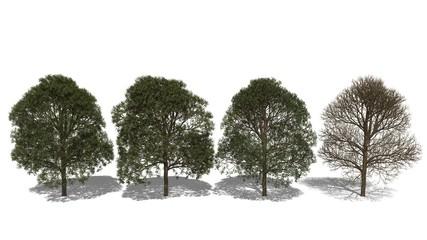 Afrikanischer Mahagonibaum (Khaya senegalensis) Four Seasons
