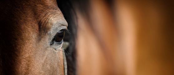 Fotobehang Paarden Eye of Arabian bay horse