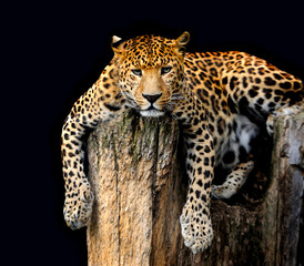 Leopard Isolated on black background