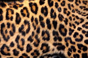 Wall Mural - Real Leopard Skin