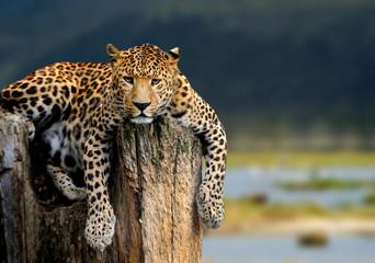 In de dag Luipaard Leopard