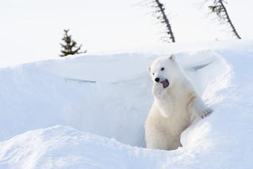 Polar bear (Ursus maritimus) cub playing around den.